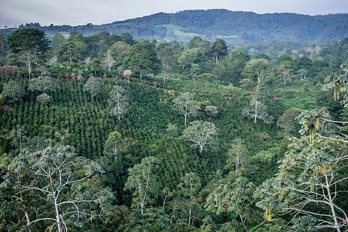 Central America「Coffee Plantation」:スマホ壁紙(17)