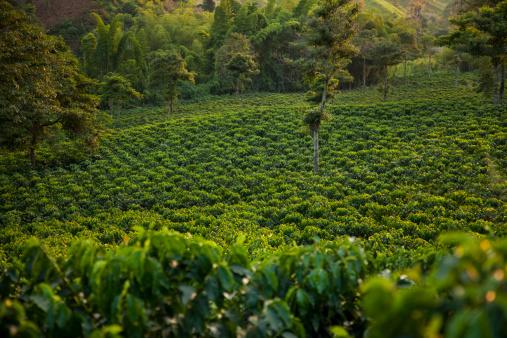 Fair Trade「Coffee Plantation in Evening Light」:スマホ壁紙(17)