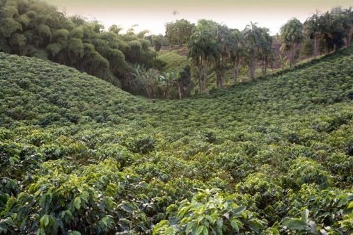 Crop - Plant「Coffee plantation, Quindio, Columbia」:スマホ壁紙(14)