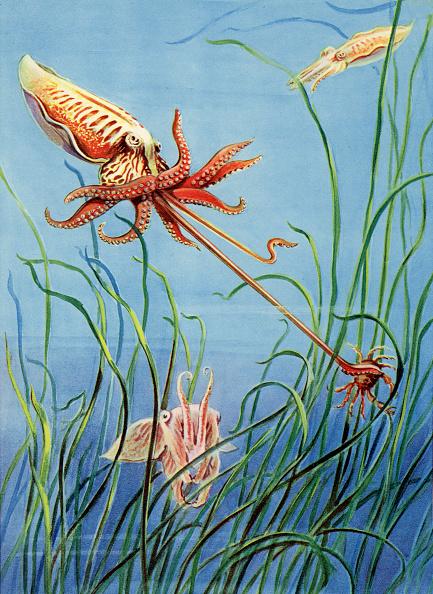 軟体動物「Cuttlefish」:写真・画像(0)[壁紙.com]