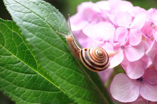 カタツムリ「Snail and Hydrangea」:スマホ壁紙(10)
