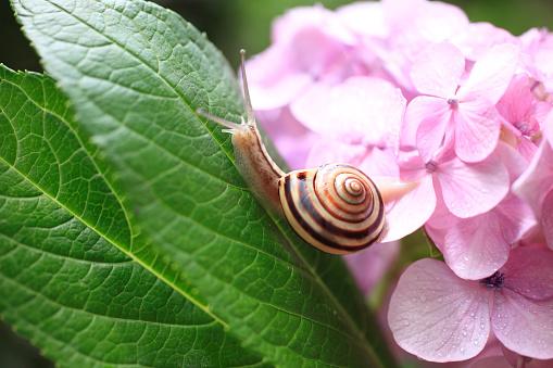 あじさい「Snail and Hydrangea」:スマホ壁紙(11)