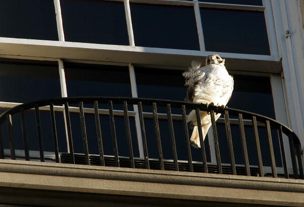 Hawk - Bird「Hawks Homeless After Eviction From NYC Co-Op」:写真・画像(16)[壁紙.com]