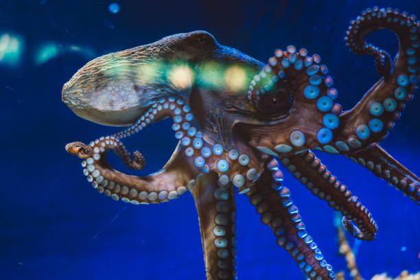 Giant octopus:スマホ壁紙(壁紙.com)
