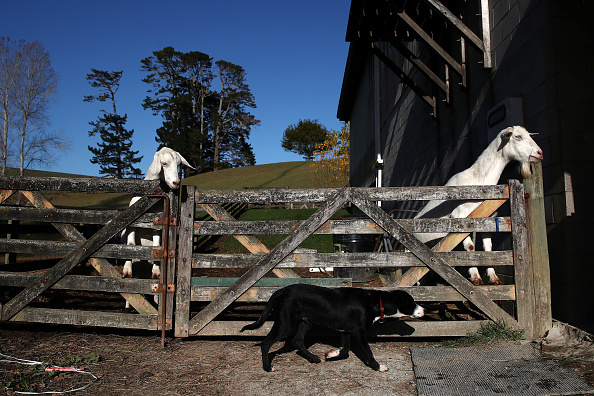 Animal Eye「New Zealand Sheep Farmers Face Ongoing Struggle Amid Drought And COVID-19 Lockdown」:写真・画像(16)[壁紙.com]