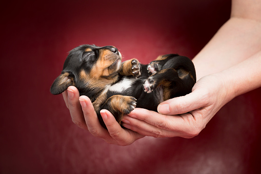 A Helping Hand「One week old Dachshund puppy sleeping in human hands」:スマホ壁紙(4)
