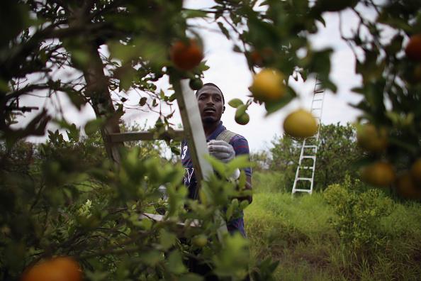 Orange - Fruit「Citrus Greening Diseases Threatens Florida's Orange Industry」:写真・画像(9)[壁紙.com]