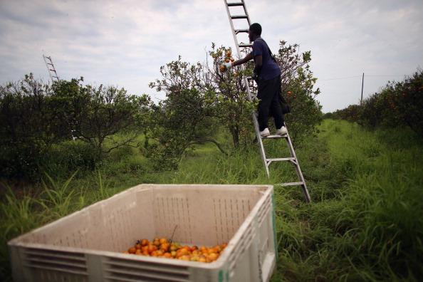 Orange - Fruit「Citrus Greening Diseases Threatens Florida's Orange Industry」:写真・画像(11)[壁紙.com]