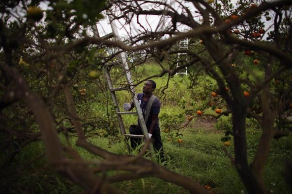 Orange - Fruit「Citrus Greening Diseases Threatens Florida's Orange Industry」:写真・画像(14)[壁紙.com]