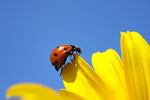 Ladybug Climbing on the Yellow Flower:スマホ壁紙(壁紙.com)