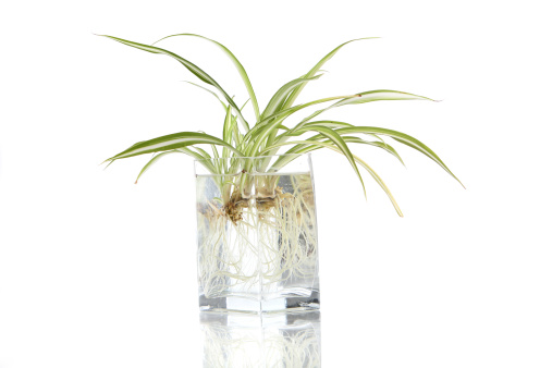 Planting「Spider plant」:スマホ壁紙(15)