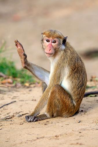 Waving - Gesture「Red monkey, Macaca sinica)」:スマホ壁紙(13)