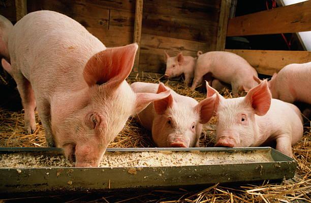 Piglets (Sus sp.) feeding at trough:スマホ壁紙(壁紙.com)