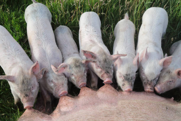 Piglets feeding from mother:スマホ壁紙(壁紙.com)