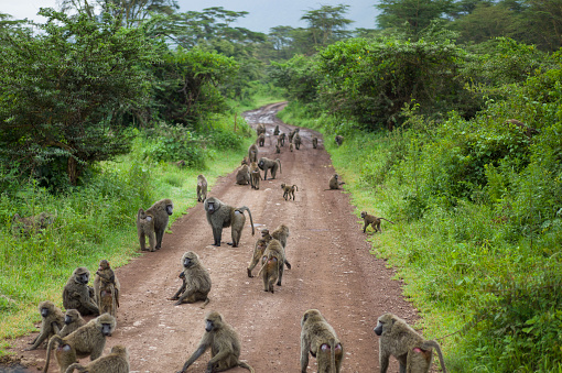 Crowd「Large troop of olive baboon, Papio anubis, blocking the road, Ngorongoro Crater, Ngorongoro Crater Conservation Area, Arusha Region, Tanzania.」:スマホ壁紙(1)