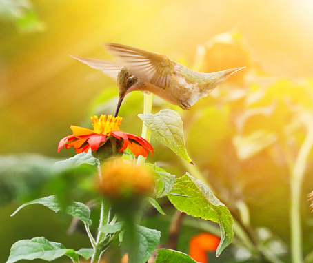 Beak「High Key photo of Ruby-Throated Hummingbird and Zinnias」:スマホ壁紙(11)
