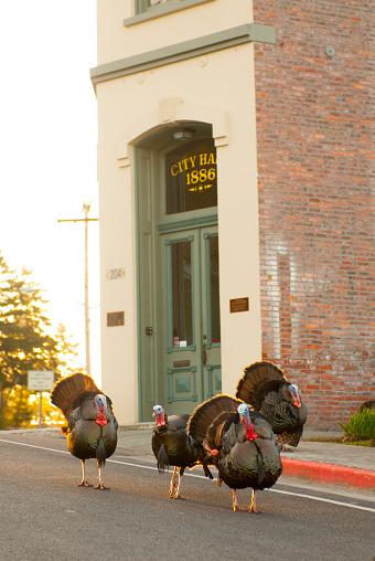 Turkey - Bird「Wild turkeys in front of City Hall in La Conner in Skagit Valley, Washington State」:スマホ壁紙(7)