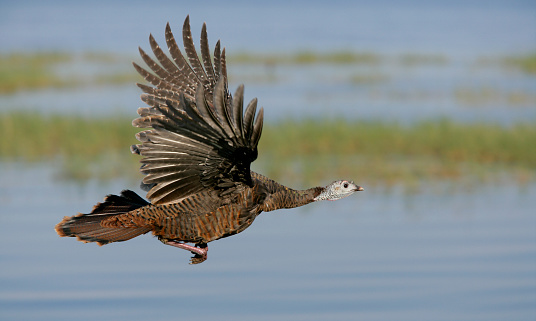 Turkey - Bird「Wild Turkey in Flight」:スマホ壁紙(19)