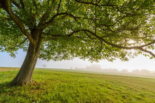 Walnut「Walnut tree with morning mist and sun, Moenchberg, Bavaria, Germany」:スマホ壁紙(6)