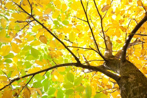 Walnut「Walnut Tree Foliage」:スマホ壁紙(15)