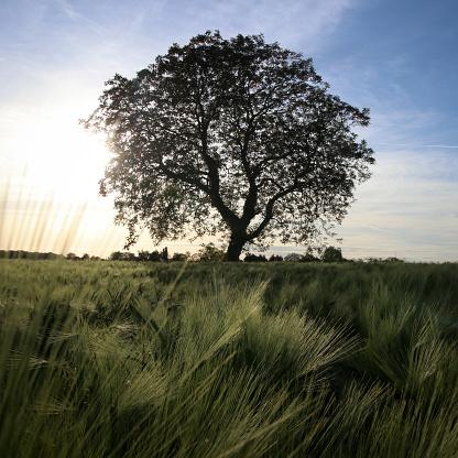 Walnut「Walnut tree in a barley field, Cherveux, Niort, France」:スマホ壁紙(5)