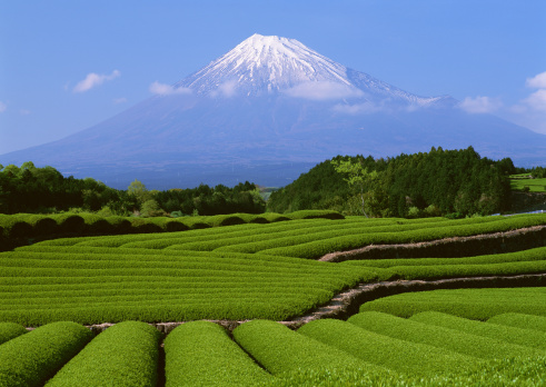 Mt Fuji「Fields of tea plantations and Mt. Fuji」:スマホ壁紙(8)