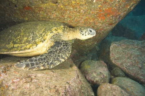 Green Turtle「Large Green Sea Turtle, North shore of Maui, Hawaii, USA」:スマホ壁紙(4)