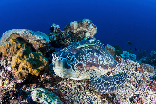 Remora Fish「A large green sea turtle lays on the reef near Sulawesi, Indonesia.」:スマホ壁紙(11)