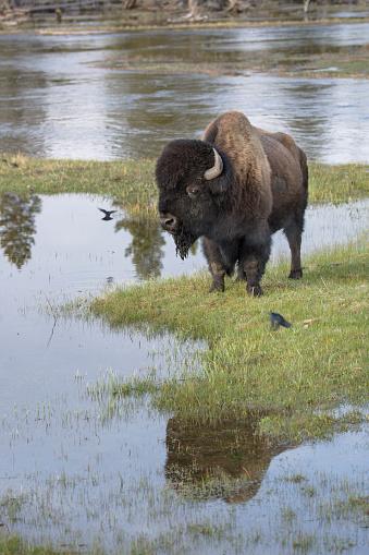 牛「A lone Bull Bison standing alongside the Firehole River」:スマホ壁紙(10)