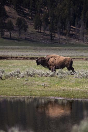 牛「Lone Bull Bison reflected in the Lamar River」:スマホ壁紙(9)