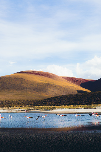 The Nature Conservancy「Group of flamingo on he mountain lake with volcanoes view in Atacama desert」:スマホ壁紙(1)