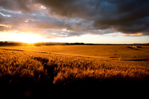 Timothy Grass「Beautiful Sunset Over Ripe Wheat Field」:スマホ壁紙(12)
