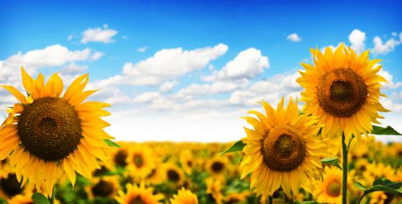 ひまわり「美しい Sunflowers」:スマホ壁紙(17)