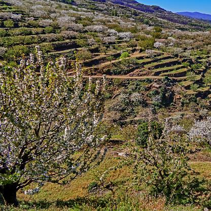 桜「Beautiful spectacle of cherry trees in bloom in the Jerte valley.」:スマホ壁紙(6)
