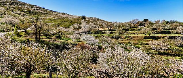 桜「Beautiful spectacle of cherry trees in bloom in the Jerte valley.」:スマホ壁紙(5)