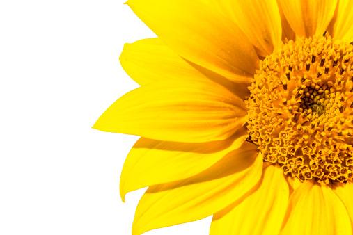 ひまわり「美しいヒマワリの花マクロ絶縁高解像度 XXL」:スマホ壁紙(1)