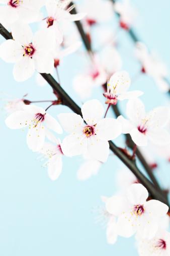 梅の花「美しい桜の」:スマホ壁紙(19)