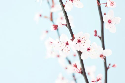 梅の花「美しい桜の」:スマホ壁紙(4)