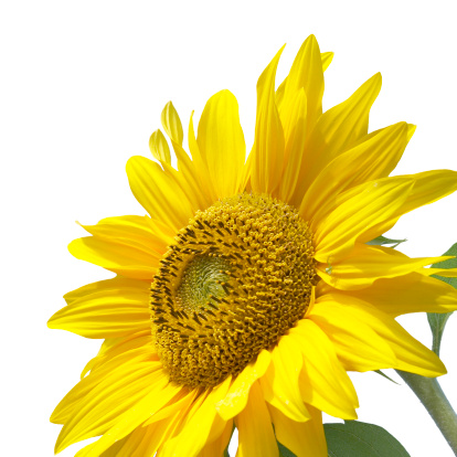 Stamen「Beautiful sunflower isolated on white background」:スマホ壁紙(17)