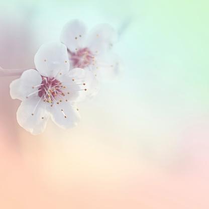 Cherry Blossom「美しい春」:スマホ壁紙(19)