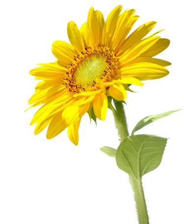 Stamen「Beautiful sunflower (isolated)」:スマホ壁紙(13)