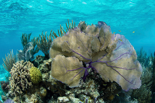 Soft Coral「A beautiful sea fan along the edge of Turneffe Atoll in the Caribbean Sea.」:スマホ壁紙(4)