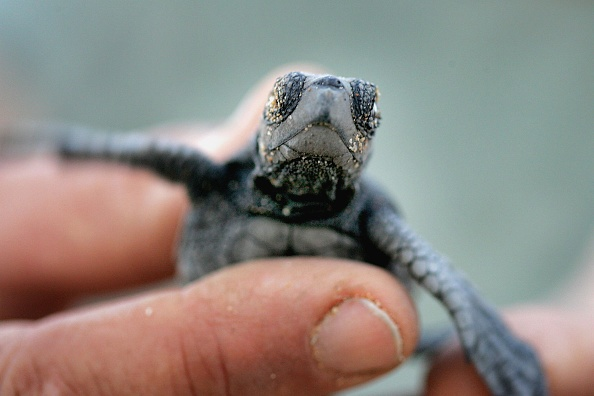 Animal Wildlife「Israeli Ecologists Struggle To Protect Mediterranean?s Turtles」:写真・画像(15)[壁紙.com]