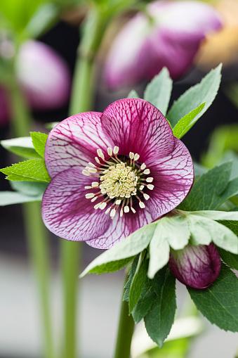 Hellebore「Single flower of Helleborus x hybridus 'Ashwood Garden Hybrids' - pink Picotees; image taken in February. Plants at Ashwood Nurseries」:スマホ壁紙(12)