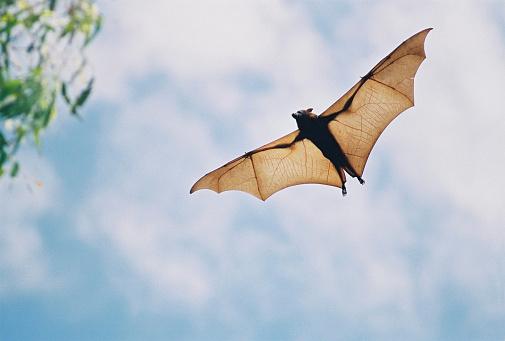 bat「fruit bat in flight」:スマホ壁紙(6)