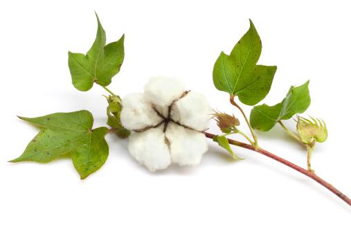 Crop - Plant「Cotton」:スマホ壁紙(11)