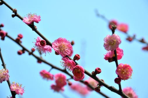 梅の花「ピンクの梅の花」:スマホ壁紙(11)