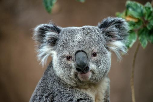 Staring「Koala」:スマホ壁紙(4)