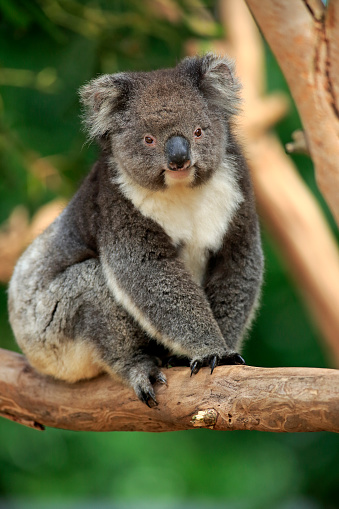 コアラ「Koala, (Phascolarctos cinereus)」:スマホ壁紙(19)