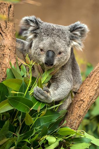 Eating「Koala」:スマホ壁紙(19)